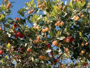 aardbeiboom armacao de pera